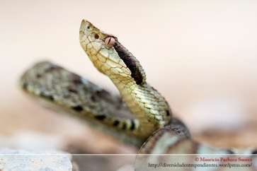 Bothrocopias andianus