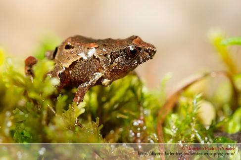 Una especie no descrita del género noblella
