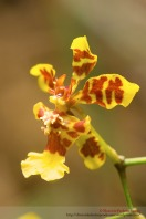 Orquídeas en Chuspipata