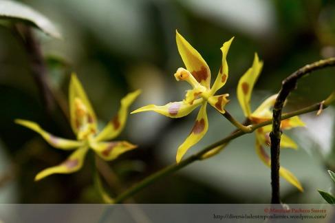 Ondontoglossum sp. en Sillutinkara