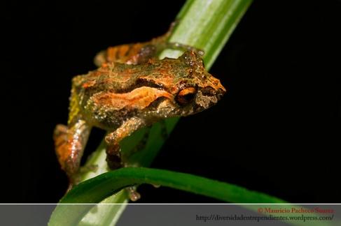 Pristimantis platydactylus