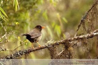 El chiguanco es el ave más común del páramo y la parte alta del bosque, normalmente es el encargado de dar la bienvenida a todos los visitantes, y en muchas ocaciones el único canto de ave en largo periodos de tiempo.