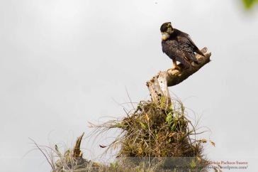 Falco deiroleucus