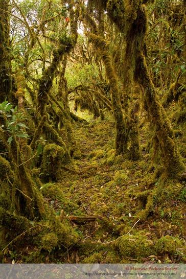 A 3000 metros, todo el bosque, el suelo y los árboles están cubiertos de musgos y epífitas.