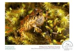 platydactylus