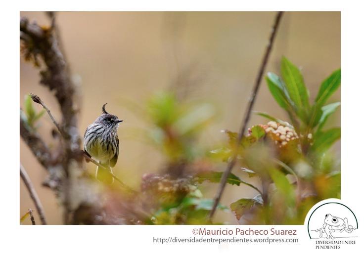 Este cachudito, es propio de los valles secos, y puede verse incluso en la ciudad de La Paz (Anairetes parulus)