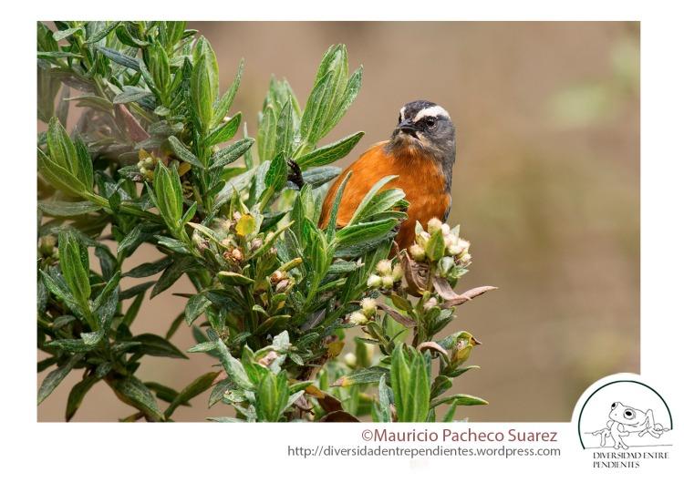 La avifauna se corresponde con la de los valles secos interandinos, pero con elementos de bosque húmedo (Conirostrum ferrugineiventre)