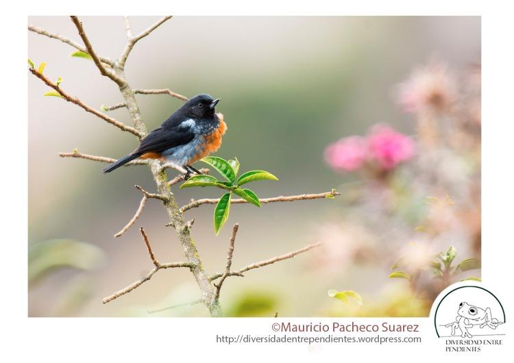 No todo son ranas, en estas laderas hay muchísimas aves, como este pinchaflor (Diglossa bruneiventris)