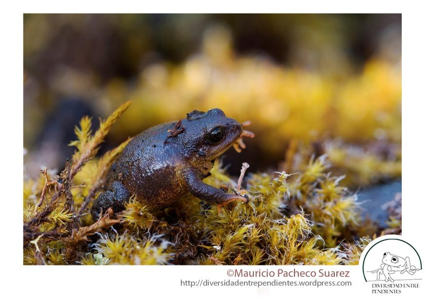 Las poblaciones de todas las especies de Psychrophrynellas varian mucho en el color de los ejemplares y la textura de su piel, lo que hace muy difícil identificarlas correctamente.