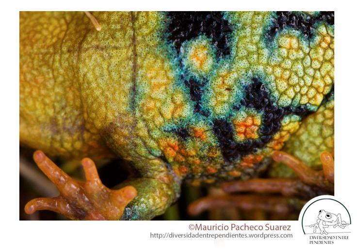 Una característica de esta especie es el colorido vientre de la mayor parte de los individuos.