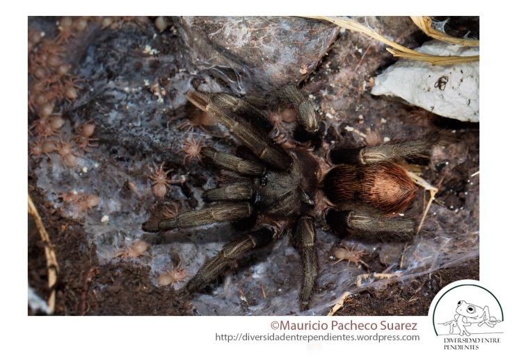 Un hallazgo inesperado, una tarántula andina del género Hapalotremus. Probablemente una especie aun no descrita.
