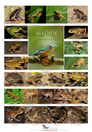 Frogs-of-Madidi-jungle-peque