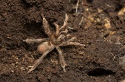 A very small (juvenil) golden tarantula from the montane rainforest at 2500 meters.