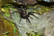A mygalomorph, very common in rocky clifs around 2500 meters
