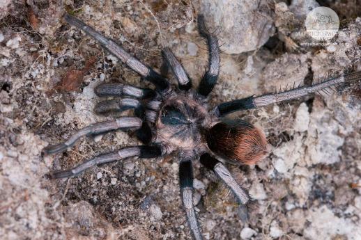 tercera-araña